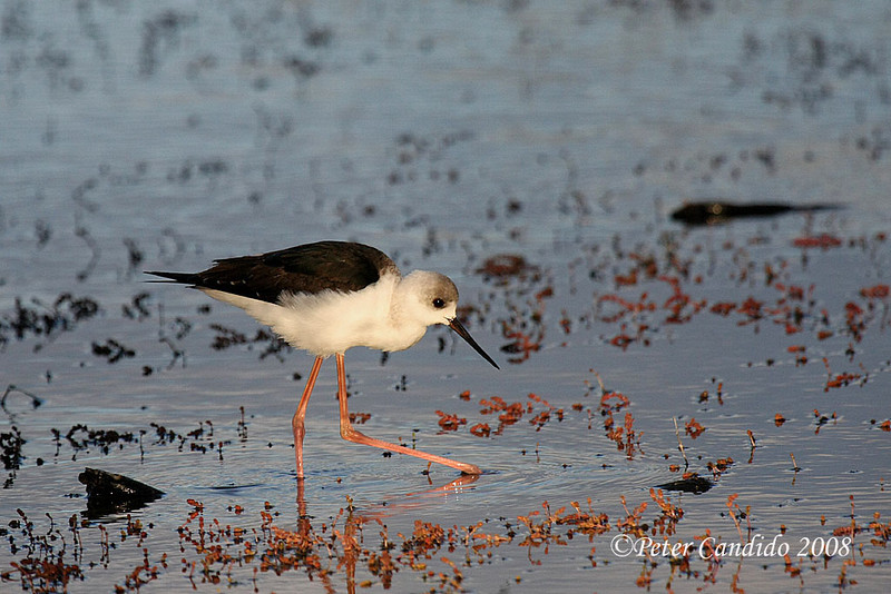 Black-winged Stilt, immature