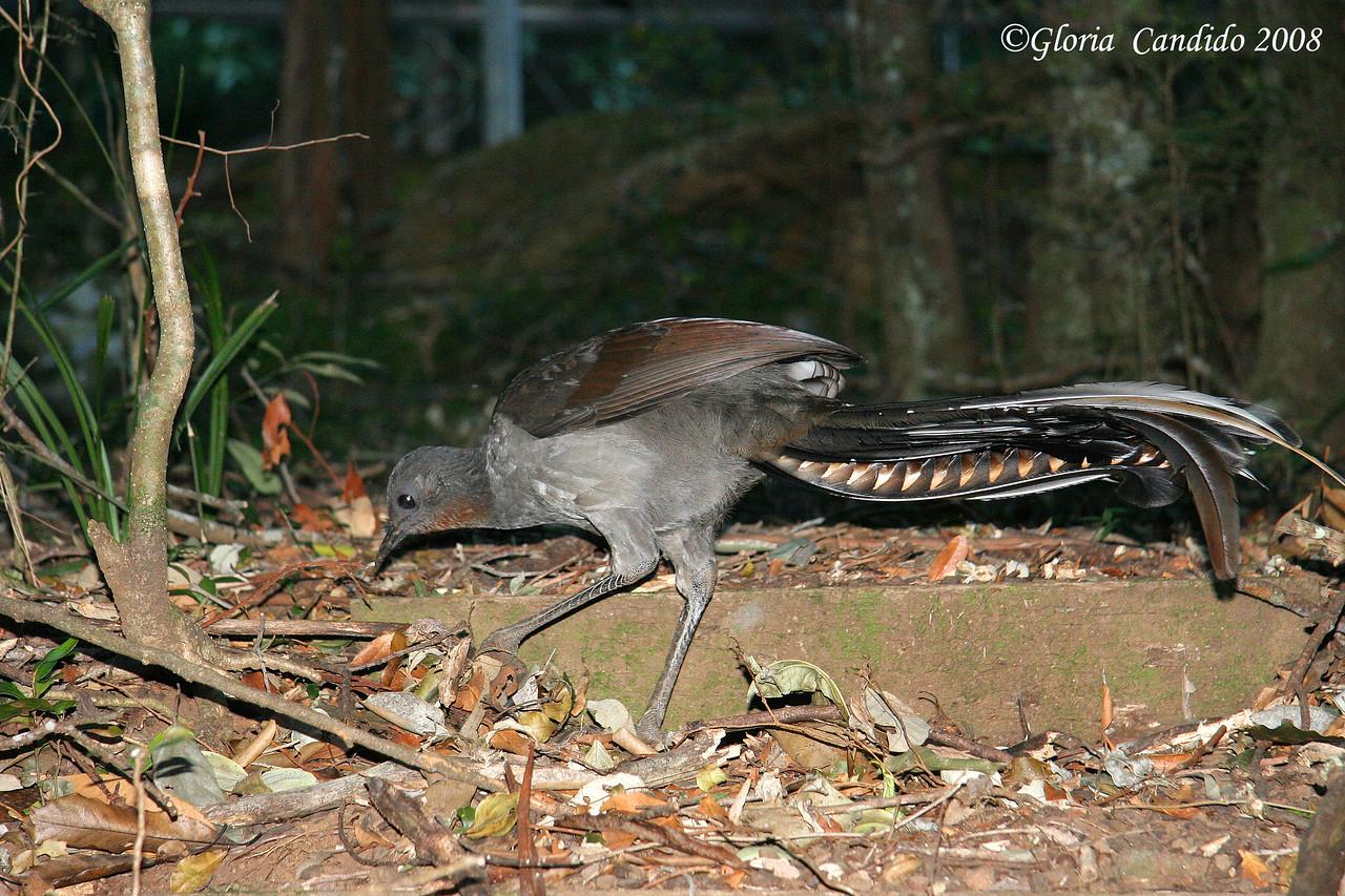 Superb Lyrebird, male