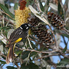 New Holland Honeyeater at Banksia flower