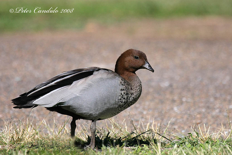 Maned Duck, male