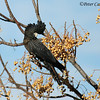 Red-tailed Black-Cockatoo