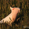 Pink or Major Mitchell's Cockatoo