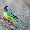 Australian Ringneck - subspecies known as  Port Lincoln Parrot
