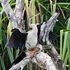 Australasian Darter, female