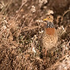Plains-Wanderer, female