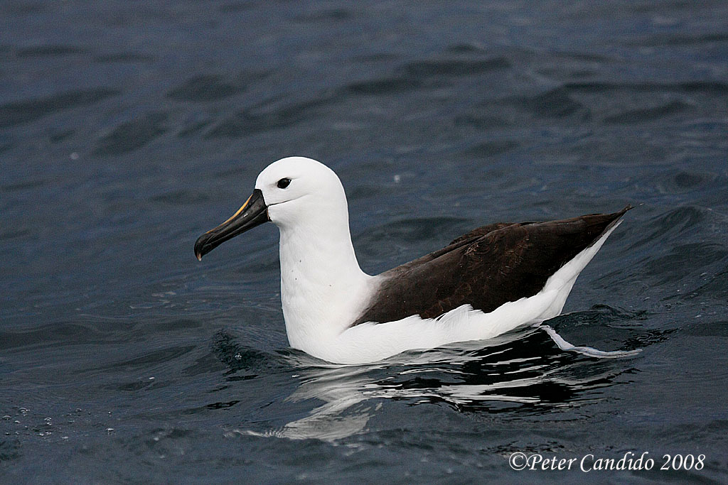 Yellow-nosed Albatross
