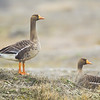 Greater White Fronted Goose Pair on Tundra