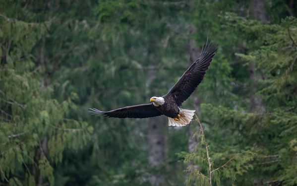 Forest Eagle