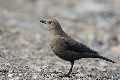 Brewer Blackbird - Female