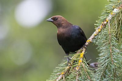 Brown-headed Cowbird - male