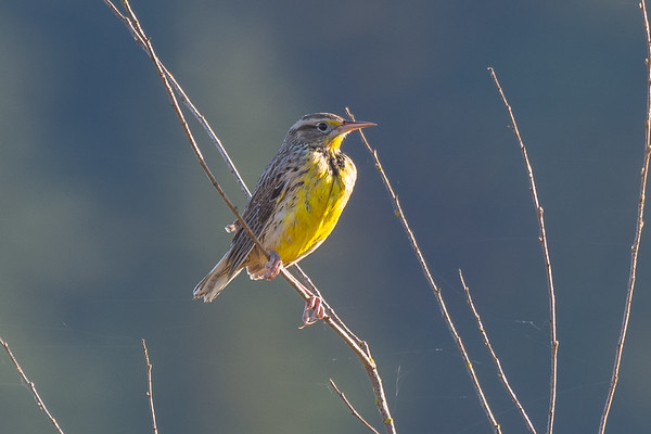Western Meadowlark - a species I rarely come across on the south island.  They are around just normally in the middle of a field hding in the grasses.  I got lucky today and found two perched along the pathway.   Not an easy bird to get close to at the best of times, these were shot at 700mm and still needed to be cropped quite a bit.  Still very happy to get them locally for species 173 for the year