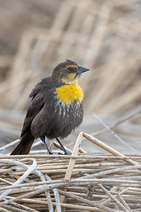 Yellow-headed Blackbird femlae