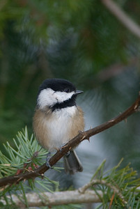 Black-capped Chickadee, Poecile atricapilla,
