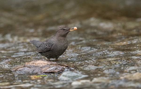 American Dipper with a salmon egg.