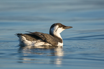 Common Murre - nonbreeding