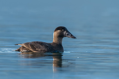 Surf Scoter female