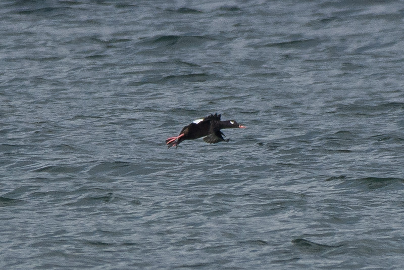 White-winged Scoter -  way off on the distance hopefully will get some closer views in the coming weeks.  species 171