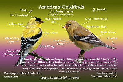 American Goldfinch Carduelis tristis-  These bright, shy birds are frequent visitors to many backyard bird feeders. The males turn brilliant yellow in the late spring as they prepare to find a mate.  The females are much darker, but still have the black and white wings which is an easy identifier of this species.   The nonbreeding plumage of both sexes is very drab, pale brown