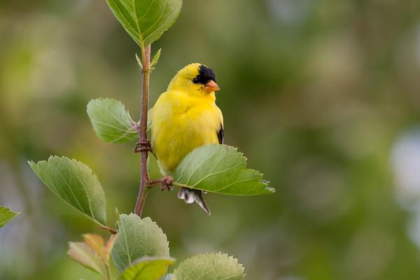 American Goldfinch - Male breeding plumage
