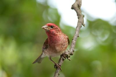 Purple Finch - Carpodacus purpureus