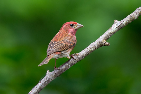Purple Finch - male