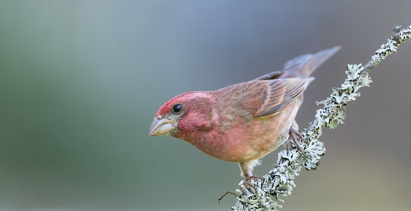 Purple Finch male