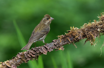 Purple Finch fledgling