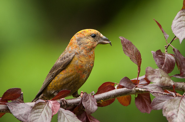 Red Crossbill, Loxia curvirostra