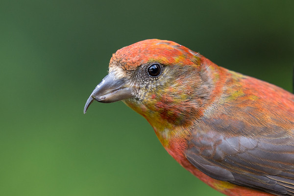 Red Crossbill - portrait