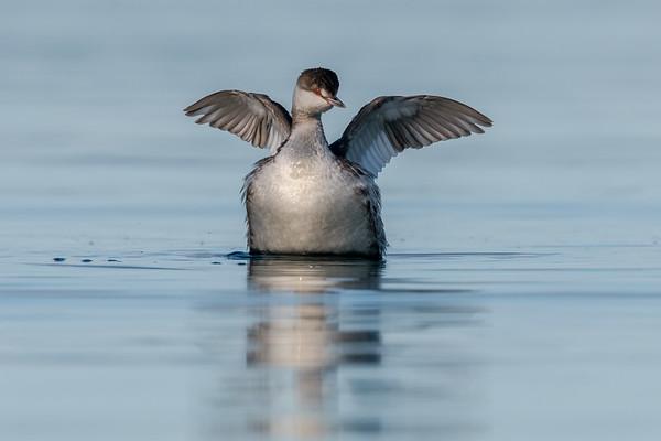 Horned Grebe winter plumage.