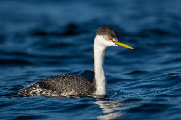Western Grebe - one of my longest standing nemesis birds, they finally gave me a close photo op today.  Nothing like laying on the frozen ground for an hour or two, but when you can finally tick your nemesis its all worth it.