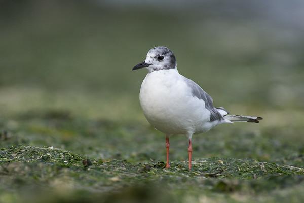 Bonaparte's Gull losing its breeding plumage