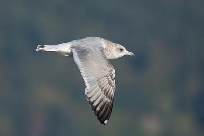 Mew Gull flyby
