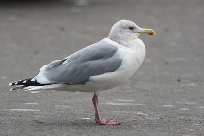 Thayer Gull