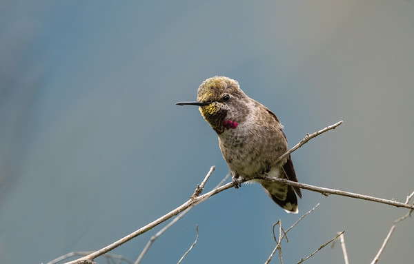 Juvenile Anna's Humminbird
