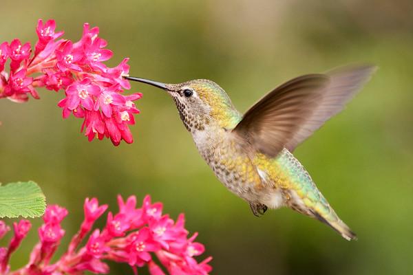 Anna's Hummingbird 9093