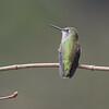 Anna's Hummnigbird - Female