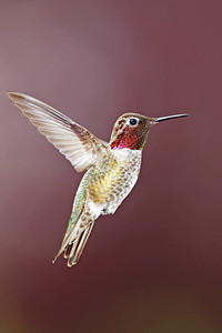 Anna's Hummingbird 6285
