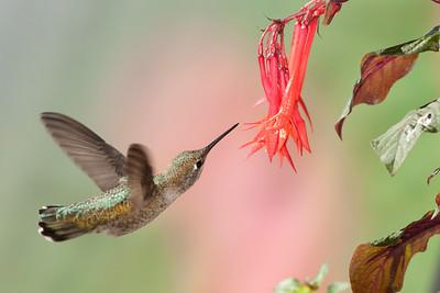 Anna's Hummingbird Anna's Hummingbird 3264