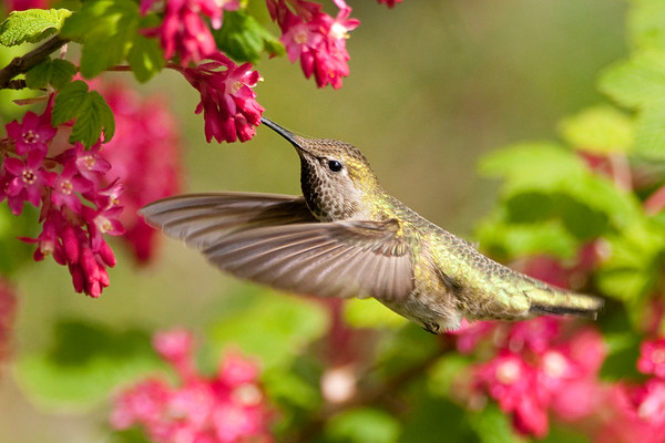 Anna's Hummingbird 8673