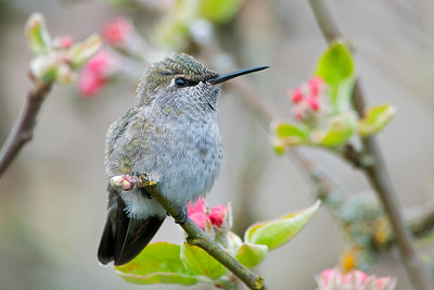 Anna's Hummingbird 0734