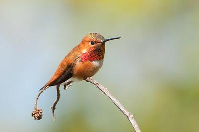 Rufous Hummingbird 4597