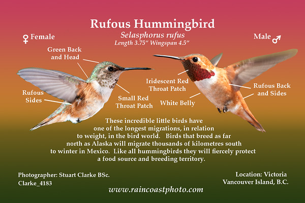 Rufous Hummingbird - Selasphorus rufus-  These incredible little birds have one of the longest migrations, in relation  to weight, in the bird world.   Birds that breed as far  north as Alaska will migrate thousands of kilometres south to winter in Mexico.  Like all hummingbirds they will fiercely protect  a food source and breeding territory.