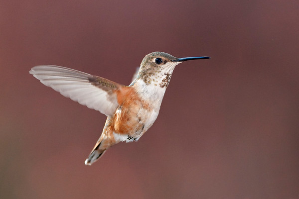 Rufous Hummingbird 6366