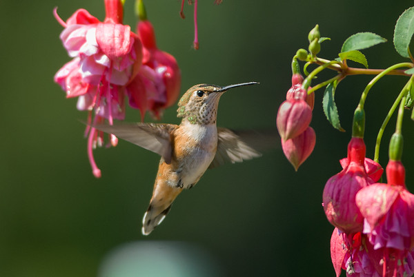 Rufous Hummingbird 4183