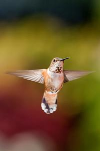 Rufous Hummingbird 2530