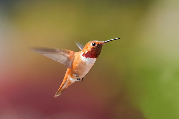 Rufous Hummingbird 2502