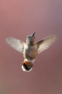Rufous Hummingbird 6386