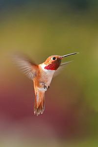 Rufous Hummingbird 2503