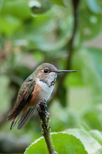 Rufous Hummingbird 3954